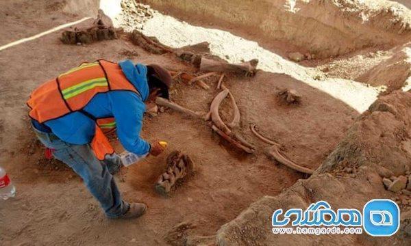 اعلام کشف بقایای حدود 60 ماموت در مکزیک