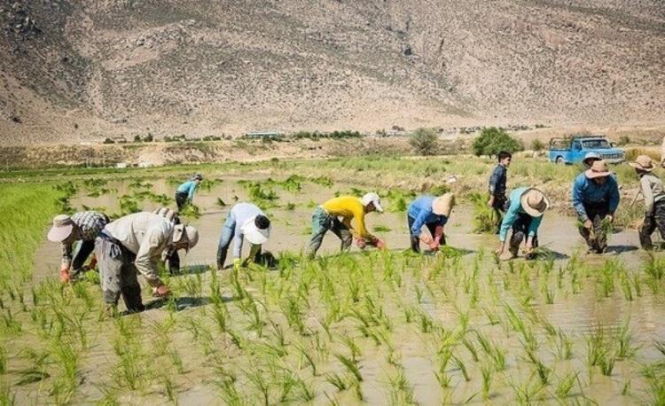 (ویدئو) گزارشی تکان دهنده از کاشت برنج در استان فارس
